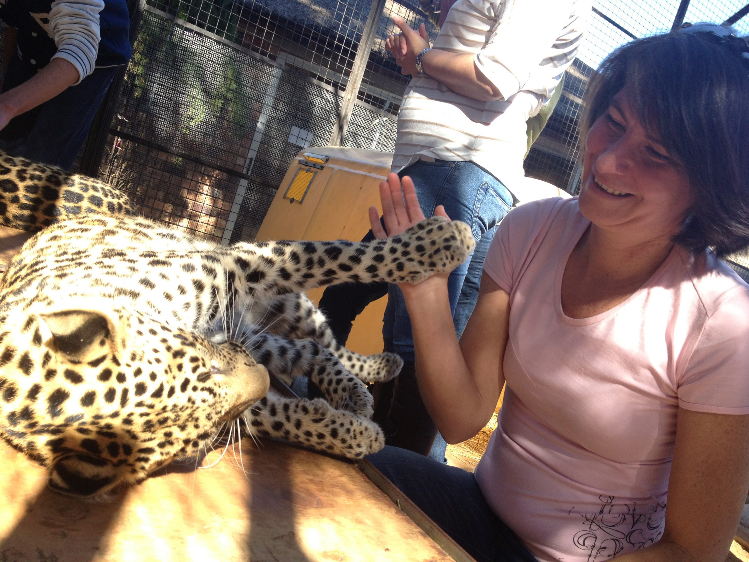Muscle testing a leopard